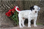 Picture of Karly / Dalmatian