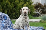 Picture of Hailey / Dalmation