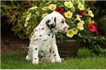 Picture of Archie / Dalmatian