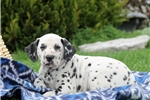 Picture of Herbie / Dalmation