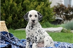 Herbie / Dalmation | Puppy at 7 weeks of age for sale