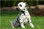 Picture of Olivia / Dalmatian