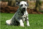 Olivia / Dalmatian | Puppy at 10 weeks of age for sale