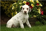 Picture of Abe / Dalmatian
