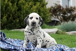 Howie / Dalmation | Puppy at 7 weeks of age for sale