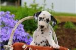 Picture of Scotty / Dalmatian