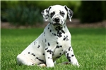 Oliver / Dalmatian | Puppy at 10 weeks of age for sale