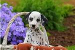 Picture of Suki / Dalmatian