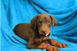 Picture of Marshall / Doberman Pinscher