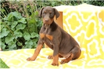 Picture of Analise / Doberman Pinscher
