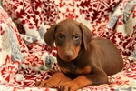 Picture of Mojo / Doberman Pinscher