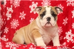Picture of Ruby-EnglishBulldog