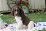 Picture of Vince / English Springer Spaniel