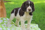 Picture of Asher / English Springer Spaniel