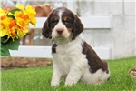 Picture of Jewel / English Springer Spaniel