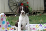Picture of Sophie / English Springer Spaniel