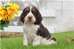 Picture of Joey / English Springer Spaniel