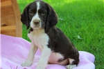 Picture of Amy / English Springer Spaniel