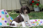 Picture of Vicky / English Springer Spaniel