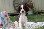 Picture of Skylie / English Springer Spaniel
