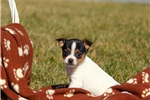 Picture of Jack / Fox Terrier Smooth