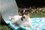 Picture of Benny / Fox Terrier Smooth