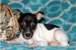 Picture of Baxter / Fox Terrier