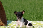 Picture of Gabby / Fox Terrier