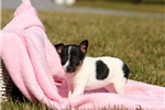 Picture of Joy / Fox Terrier Smooth