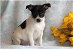 Picture of Kaden / Fox Terrier Smooth