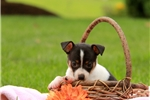 Picture of Cora / Fox Terrier