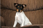 Picture of Gia / Fox Terrier
