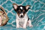 Picture of Brandon / Fox Terrier