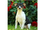 Picture of Onyx / Fox Terrier, Smooth
