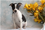 Picture of Kelby / Fox Terrier Smooth