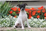 Picture of Etty / Fox Terrier