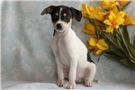 Picture of Kody / Fox Terrier Smooth