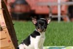 Picture of Gloria / Fox Terrier