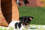 Picture of Gatsby / Fox Terrier