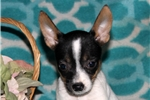 Picture of Breanne / Fox Terrier