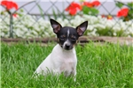Picture of Ethan / Fox Terrier