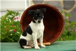 Picture of Tootsie / Fox Terrier Smooth