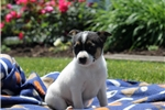 Picture of Freddie / Toy Fox Terrier