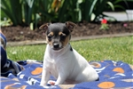 Picture of Fiona / Toy Fox Terrier
