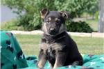 Picture of Lucy / German Shepherd