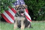 Picture of Patriot / German Shepherd