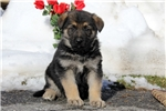 Picture of Grant / German Shepherd