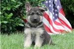 Picture of Sparkler / German Shepherd