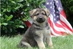 Picture of Freedom / German Shepherd