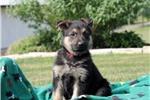 Picture of Layla / German Shepherd